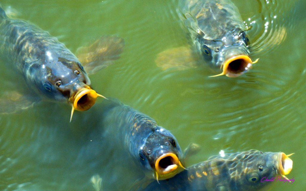 des carpes ouvrant la bouche dans une rivière